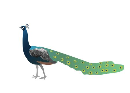 Peacock with a closed tail isolated on white background. Stock vector illustration. Illusztráció