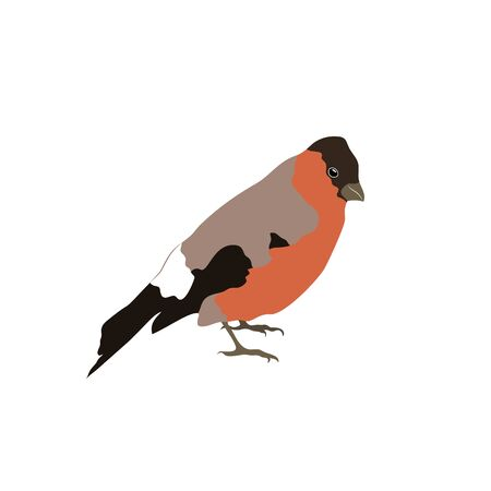 Bullfinch with a closed tail isolated on white background. Stock vector illustration. Illustration