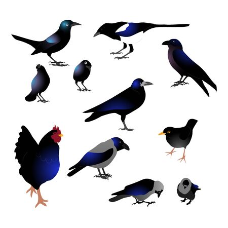 Set of different black birds with blue tint, raven, grackle, crow, rooster, magpie. Isolated on white background. Flat style vector illustration. Vector Illustratie
