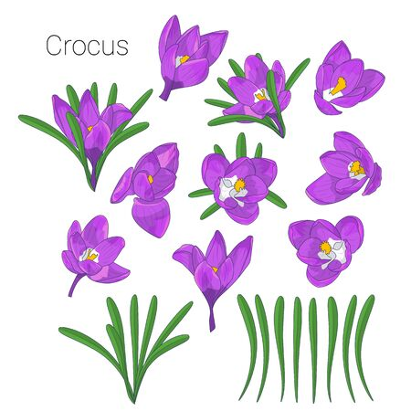 Hand drawn mauve crocus flowers clipart. Floral design element. Isolated on white background. Vector illustration.
