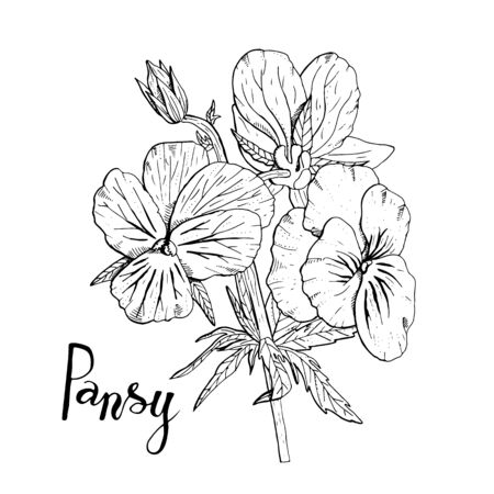 Hand drawn pansy flowers clipart. Floral design element. Isolated on white background. Vector illustration.