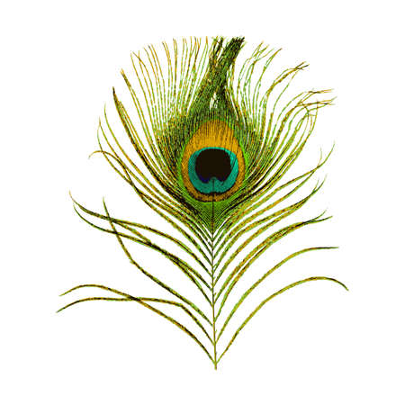 Peacock feather isolated on white background. Stock vector illustration.