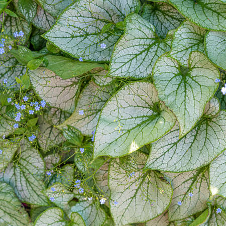 Spotted white tropical leaves with small blue flowers closeup texture 写真素材