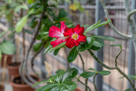 Desert rose tree with fred flowers and leaves in botanical garden. 写真素材