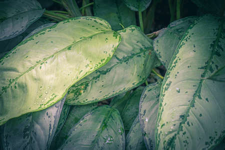 Tropical plant foliage texture. Tropic leaves with white spots background.