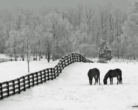 Horses in snowy rolling meadow with rail fence and snow on the trees in background