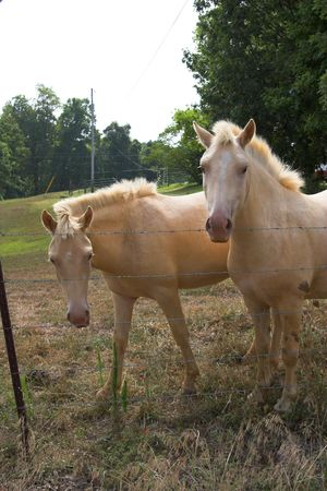Two white horses in fenced pasture land photo