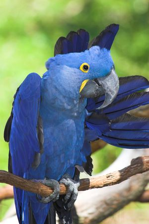 The hyacinth macaw (Anodorhynchus hyacinthinus) is a handsome bird, deep cobalt blue in colour, with a golden eye ring and bill base. It is found in Brazil and easternmost Bolivia, where it lives mainly on seasonally flooded grassland. photo