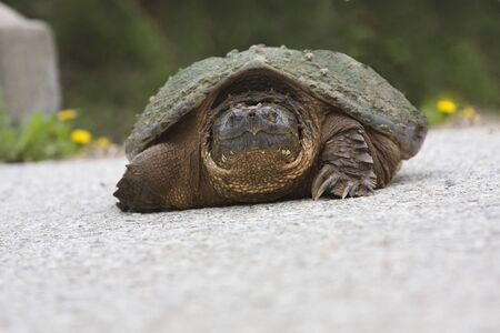 Turtle crossing the road,closeup at eye level