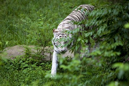 White Tiger prowling for food, brush is thick and is a good cover for her,White tigers are rare, they live an average of 12 to 15 years photo