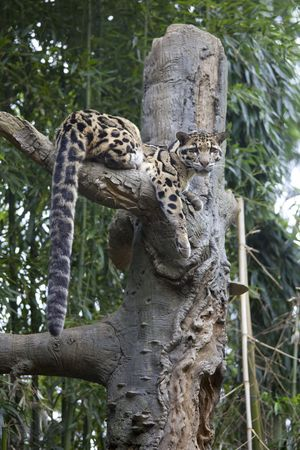 clouded leopard: Beautiful Clouded leopard relaxing in tree,large eyes & tail