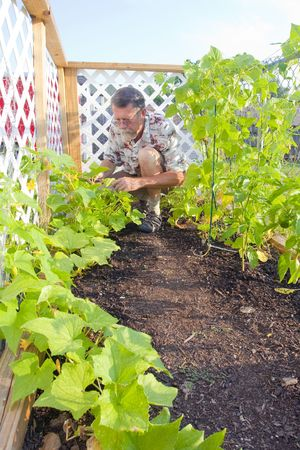 squash bug: Home owner growing his own vegetables to save money in a tough economy,young cucumbers are doing well