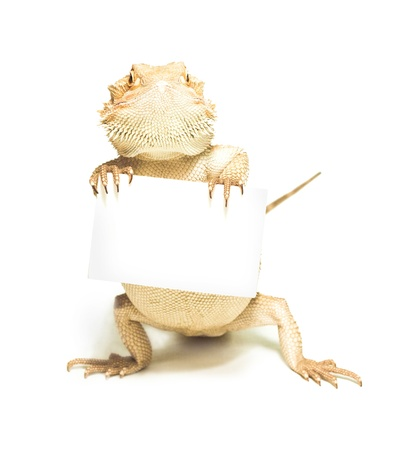 lizard holding card in hand on white background Stock Photo - 14249372