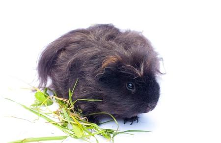 funny black cavy sitting on white background Stock Photo