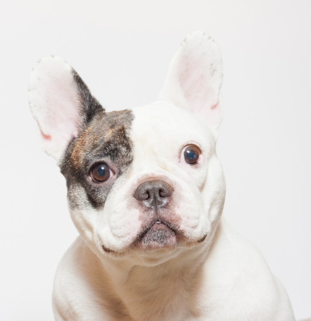 A young English Bulldog sitting a white background and looking at the camera photo