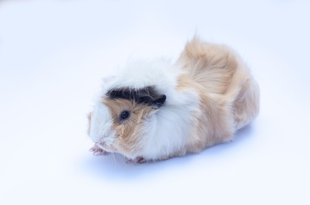 funny little cavy standing on white background