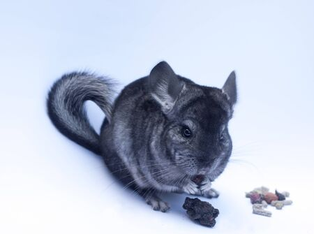 Young funny chinchilla sitting on white background photo