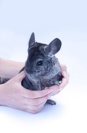 Young chinchilla sitting in hands  on white background