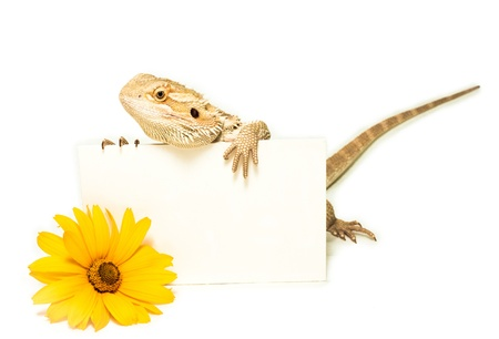 lizard holding card in hand on white background Stock Photo - 14969204