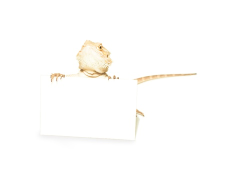lizard holding card in hand on white background Stock Photo - 15047754