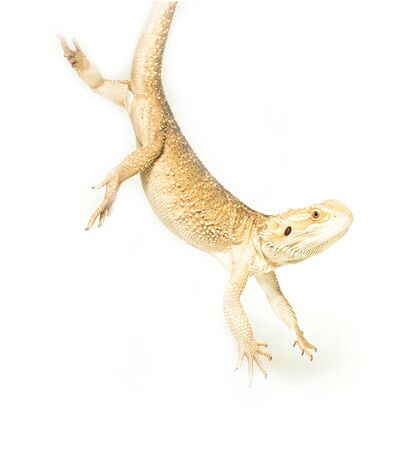 lizard pogona viticeps handing on tail on white background Stock Photo
