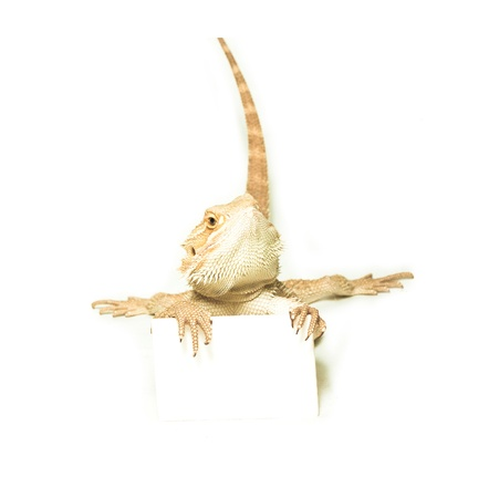 bearded dragon lizard: lizard holding card in hand on white background