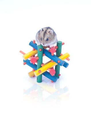 dwarf funny hamster sitting on white background Stock Photo