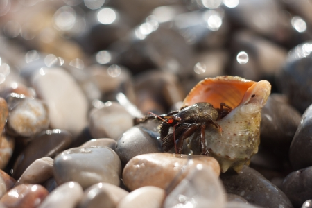 Hermit crab crawling on the beach gravels photo