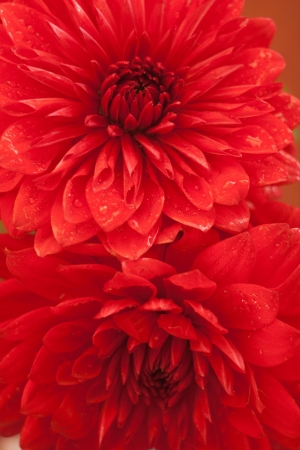 Close up photo of a beautiful red dahlia flower