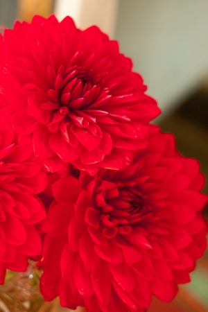 georgina: Close up photo of a beautiful red dahlia flower