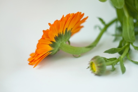 calendula flowers isolated on white photo