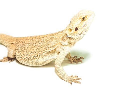 yellow lizard pogona viticeps on the white background Stock Photo - 16863823