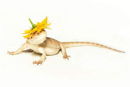yellow lizard pogona viticeps on the white background Standard-Bild