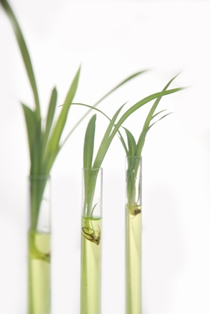 plantlet: plantlet in the tube in lab