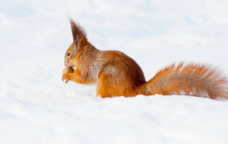Eating squirrel sitting on the snow Stock Photo