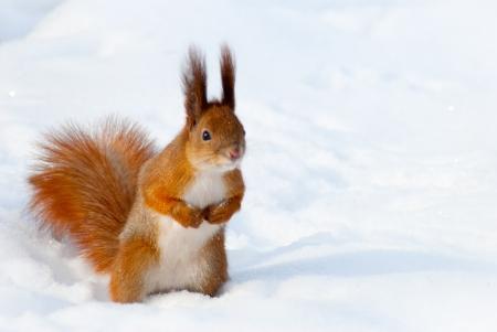 Ardilla roja en la nieve tomada en Kiev, Ucrania, en invierno