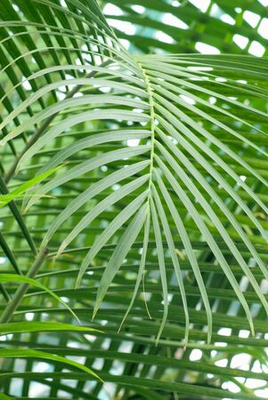Tropical Background.palm leaf close up Stock Photo