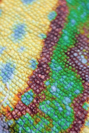 Macro view of colorful scales of Panther Chameleon isolated on white