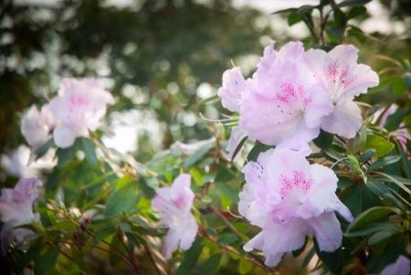 Blooming Pink Rhododendron (Azalea) close-up, Stock Photo