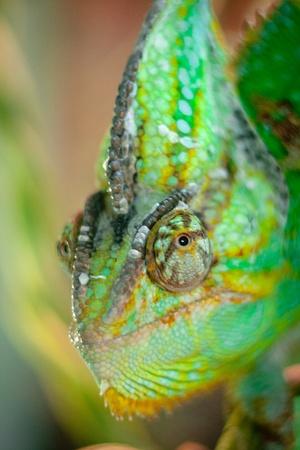 sitting chameleon on white background Stock Photo