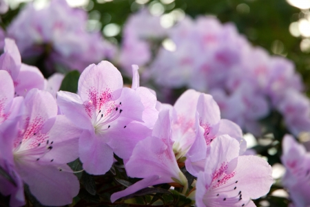 Blooming Pink Rhododendron (Azalea) close-up, photo