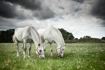 Two horses grazing in a field photo