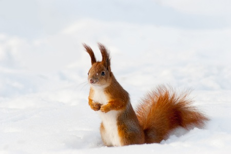 Red squirrel on the snow  taken in Kyiv, Ukraine, in winter