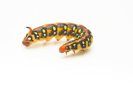 yellow caterpillar isolated on white background photo