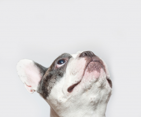 French dog portrait on a white background