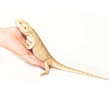 lizard pogona viticeps sitting in hand on white background