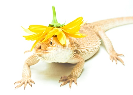 yellow lizard pogona viticeps on the white background Stock Photo