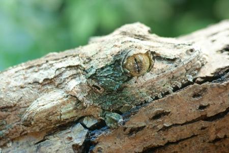 giant leaf-tail gecko, marozevo, madagascar