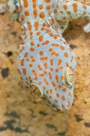 Nice Gecko gekko close up Stock Photo