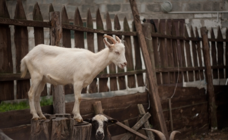 Portrait of a funny goat  photo
